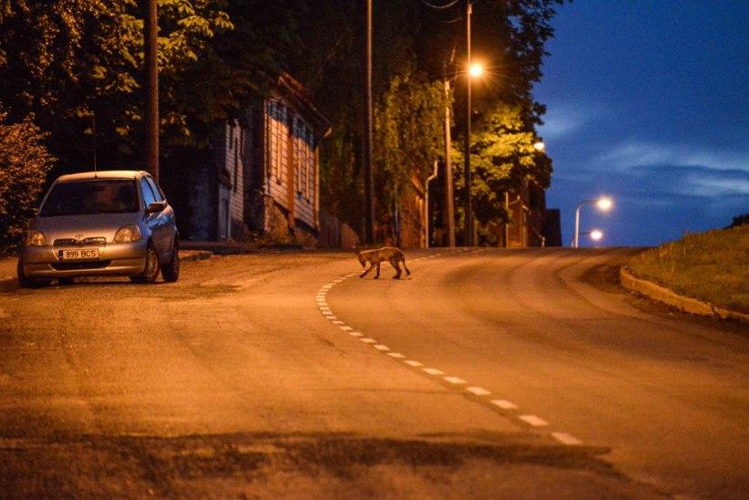 FOTOD | Haige rebane luusis Viljandis ringi