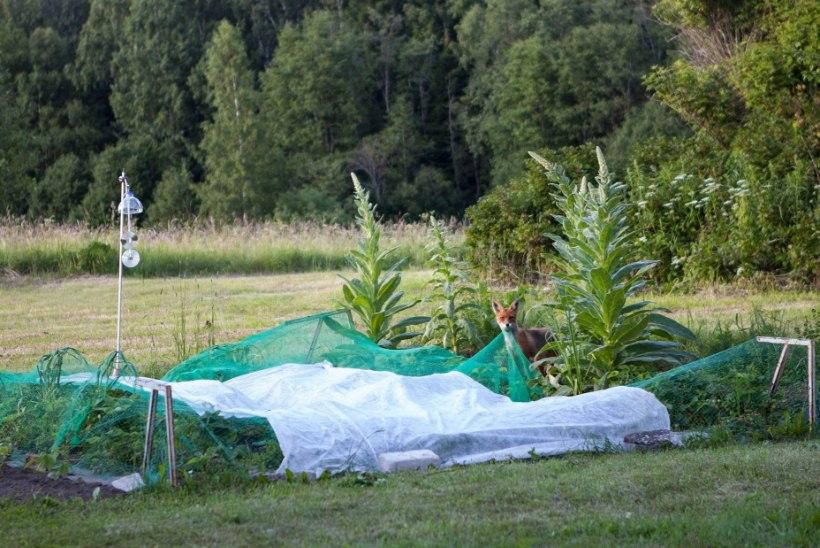 Maasikamaias reinuvader käis marjaraksus