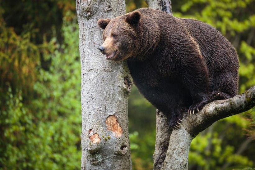 """PERKELE! """"Vaat kui äsan sulle harjaga!"""" Karu üritas vihase soomlase prügi varastada"""