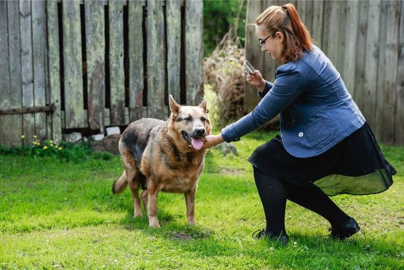 ÕHTULEHE VIDEO JA FOTOD | Väärkoheldud koer Hallike on üle 10 kilo kaalust alla võtnud ja hakkab oma tõelist iseloomu näitama