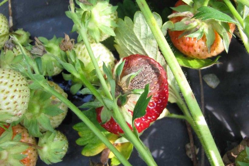 Maasikapõlde on tabanud hallitus