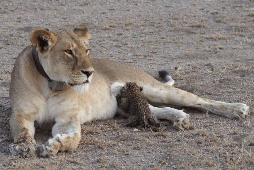 UNIKAALNE FOTO | Vaatepilt, mida võib näha vaid üks kord elus: emalõvi imetas leopardipoega