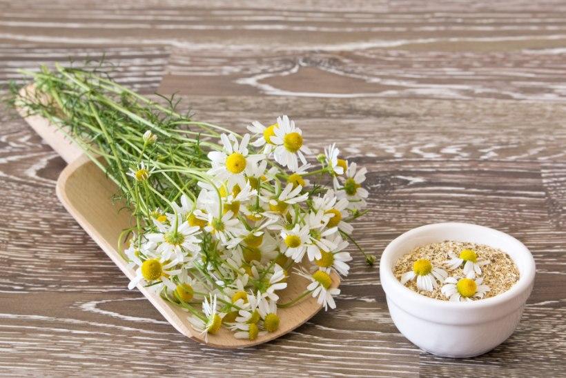 Mida saab eestlaste lemmikravimtaimedega ravida?