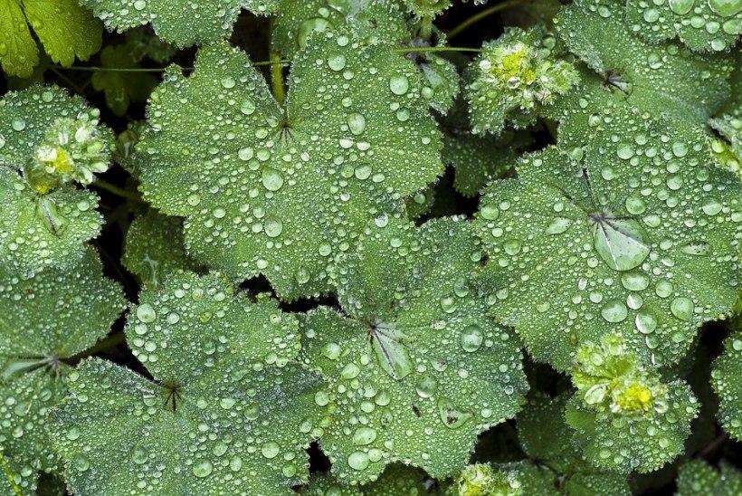 Imeline kortsleht: taim, mis vähendab valu, noorendab ja ravib