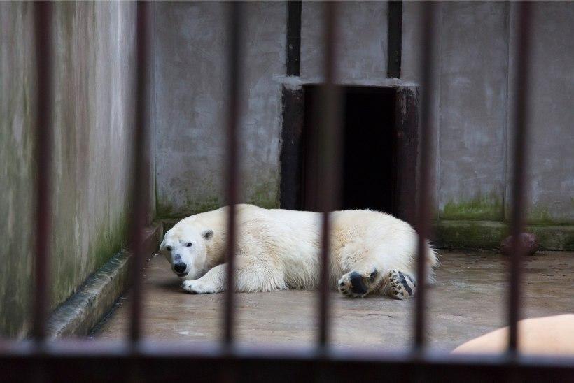 FOTOD | Meie loomaaia jääkarude uus kodu kerkib mühinal!