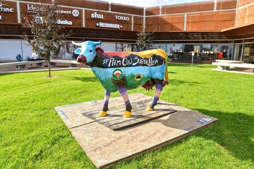 FOTOD | Viljandi saabus värvikirev lehm!