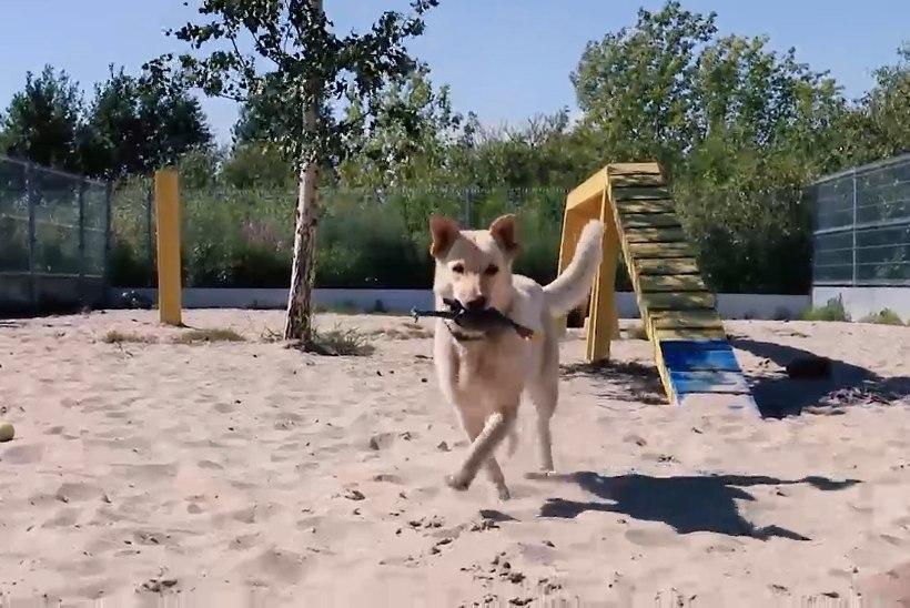 ÕHTULEHE VIDEO   Koduotsija: varjupaiga kõige inimsõbralikum koer ootab pikisilmi uut omanikku