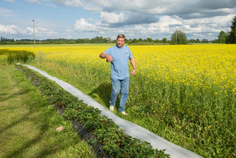 Korralik põllumees ei tapa mesilindu, kui põllule keemiat pritsib