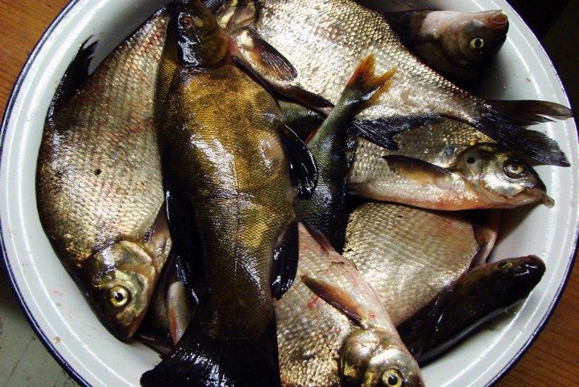 Toomas Vint: äraläinud kalad on alati kõige suuremad