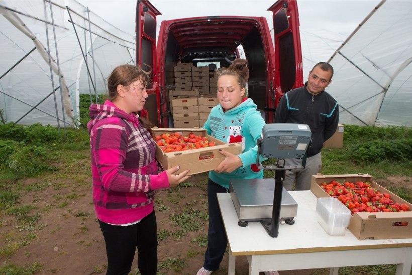 Maasikas jõuab põllult poodi vähem kui 24 tunniga