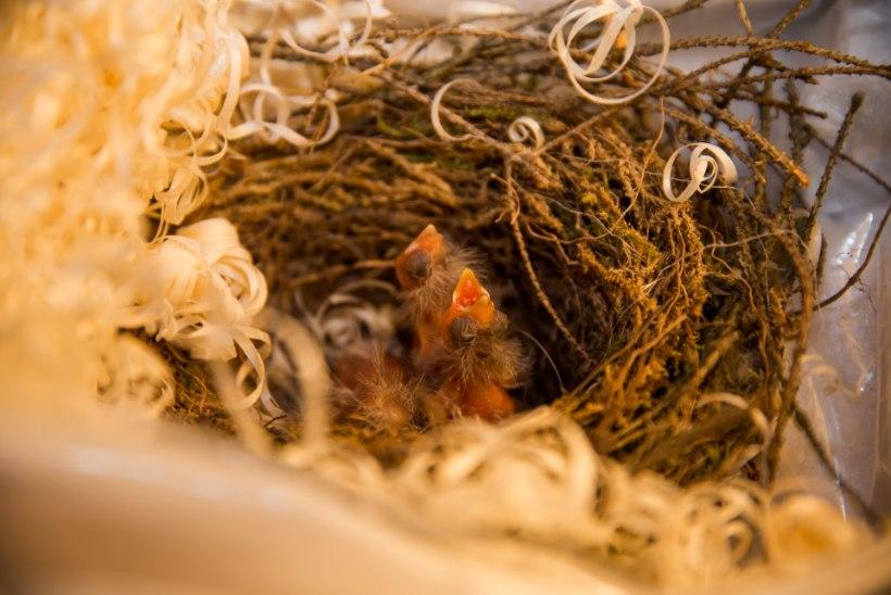 PILDID JA VIDEO | Päästetud linnupojad on hoiukodus õnnelikud