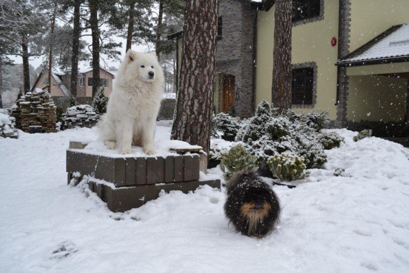 """Narva-Jõesuu koeraomanik: """"Muidugi me oleme ise süüdi, et koer jooksu pani, aga miks peab teda tapma!"""""""