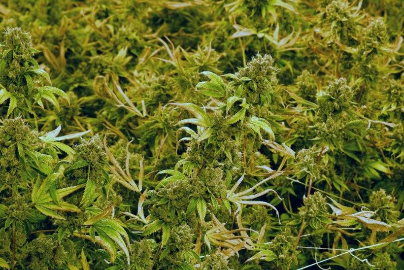 Enam kui 20 kilo marihuaanat käidelnud mees mõisteti kaheksaks aastaks vangi