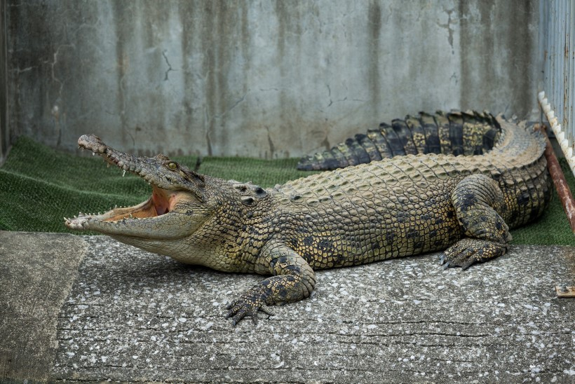 Enda sõnul krokodille kontrolliv mees jäi Indoneesias krokodilli lõugade vahele