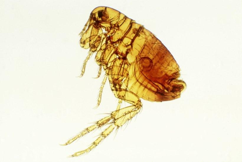 Parasiidid väljasuremise äärel: kergendus või katastroof?