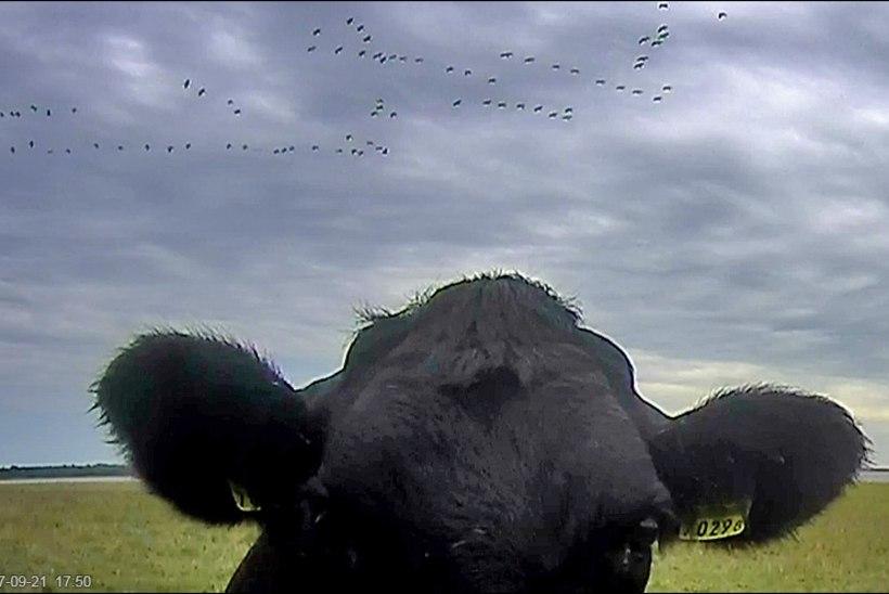 Loomade mäss! Lehmad järasid kurekaamera juhtme läbi
