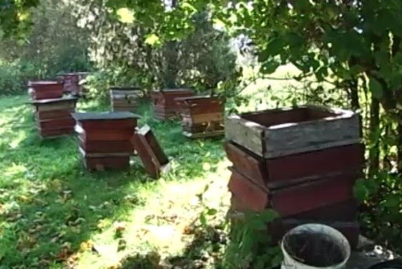 TV3 VIDEO   Karud korraldasid Kuusalu kandis mesilastarudele rüüsteretke