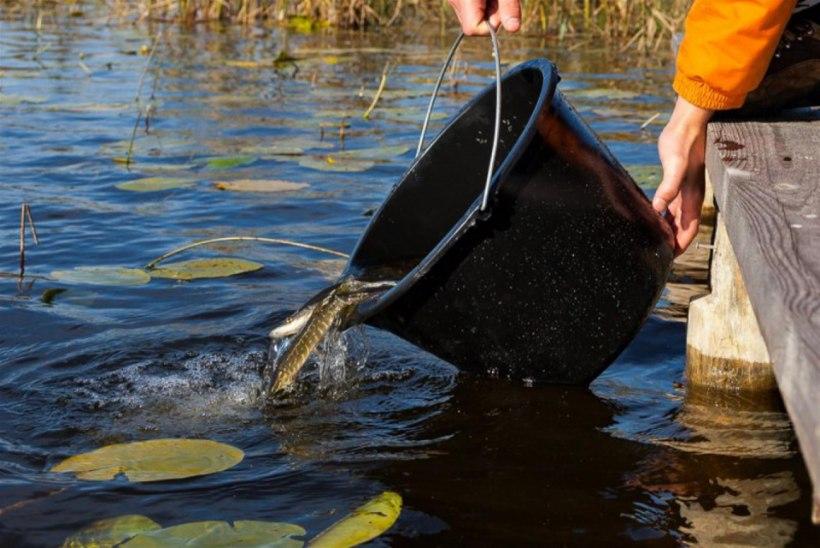 Keskkonnaamet: kalu tohib veekogusse asustada ainult Keskkonnaameti loal