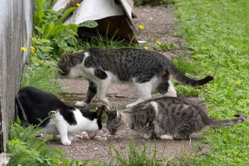 Ruhnu on loomakaitsjatega tülis: 3000 eurot kassikarja steriliseerimise eest käib vallale üle jõu