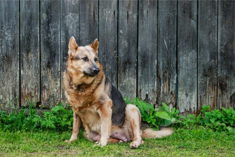 ÕNNELIK LÕPP! Väärkoheldud koer Hallike otsib endale uut armastavat omanikku