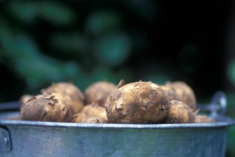 Hoidistaja meelespea: kartulid ja porgandid kevadeni