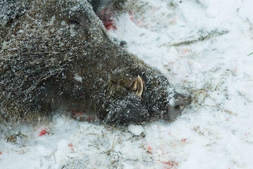 Üks viimaseid kantse langes: sigade Aafrika katk jõudis Harku valda