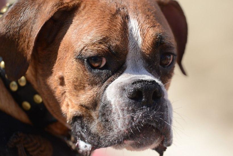 USKUMATU   Võitluskoer korraldas Mustamäel maraton-koeraründe