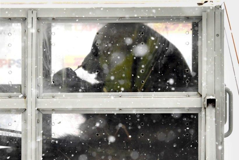 Pandade vaatamine pole odav lõbu: neljaliikmeline pere maksaks piletite eest ligi 100 eurot