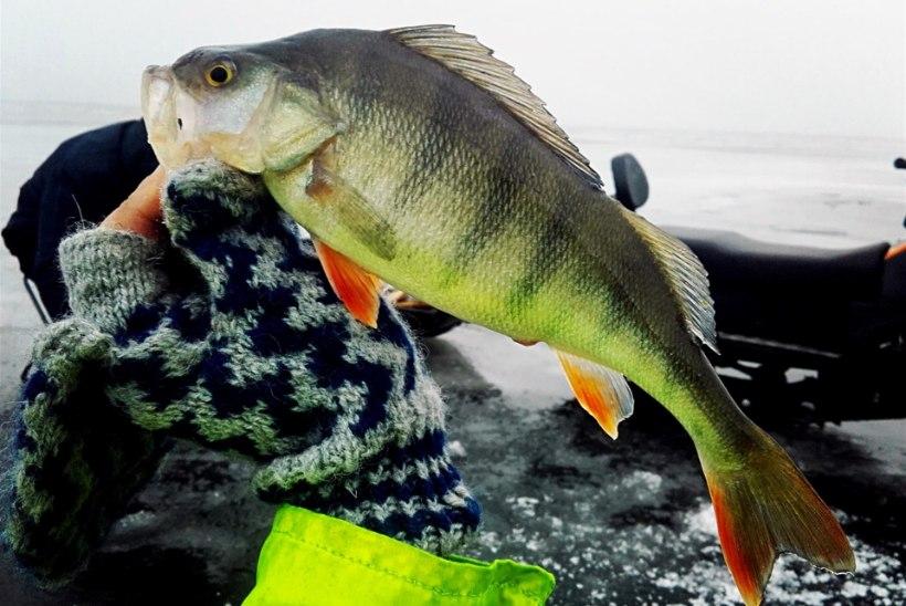 Inspektsioon tuletab kalastajatele meelde: ahvenapüügil kehtib päevalimiit