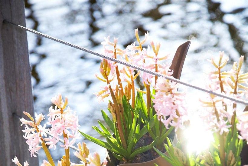 Taimekupli all õide puhkevad hüatsindid toovad koju värsket kevadehõngu