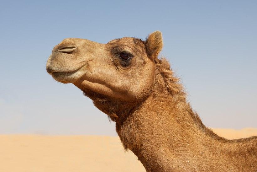 Botoxi süstid: 12 kaamelit said iludusvõistlusel disklafi