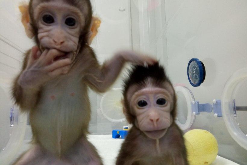 FOTOD JA VIDEO | Hiinas klooniti kaks ahvi