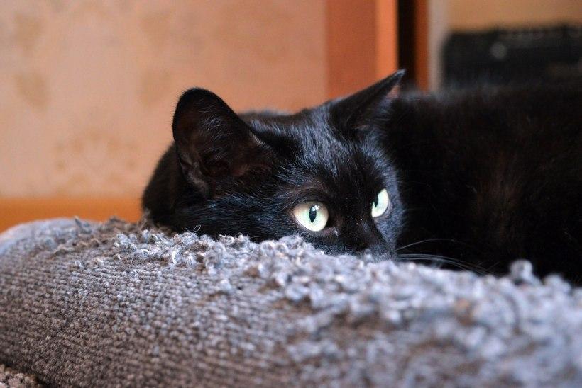 TEE ISE: kassi kraapimispost diivani kaitseks
