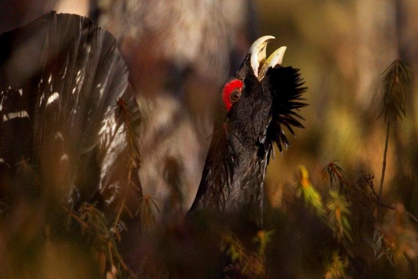 Kuulutati välja hange Rail Baltica lähedale jäävate metsiste elupaikade kaitsmiseks
