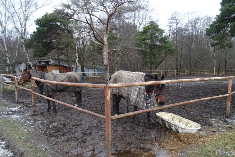 FOTOD | Hipodroomi lähedal ründas rihmata koer hobust: kannatada said nii hobune kui ka ratsanik