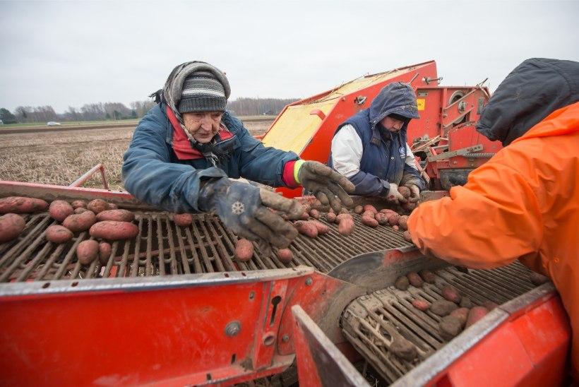 Põllumees kallist kartulist: mugula tootjahind peaks olema veel mitu korda kõrgem