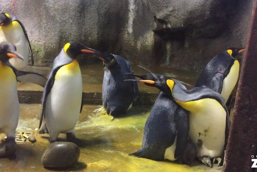 LOOMARIIGI INTRIIGID: pingviinitibu näpanud isaste paar sai lohutuseks üksikema munetud muna