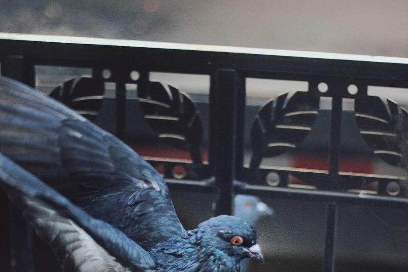 USA-d hullutab ja naerutab vandenõuteooria, mille kohaselt on linnud valitsuse luurevidinad
