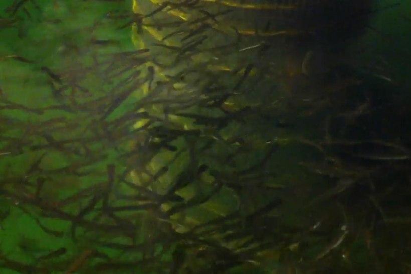 RMK Põlula kalakasvandusest asustati jõgedesse lõhe ja siia noorkalu