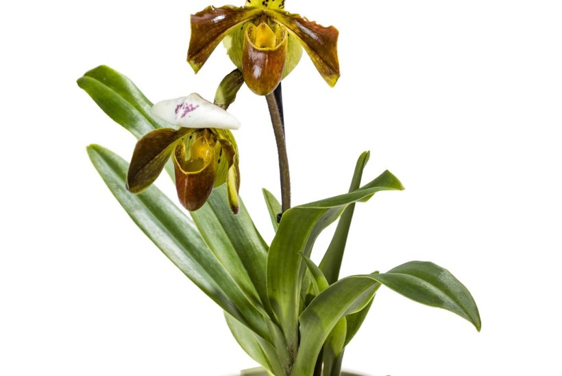 Uudiseid taimemaailmast: kaunid õitsejad ja turritavad okkalised ootavad lilleriiulisse toomist