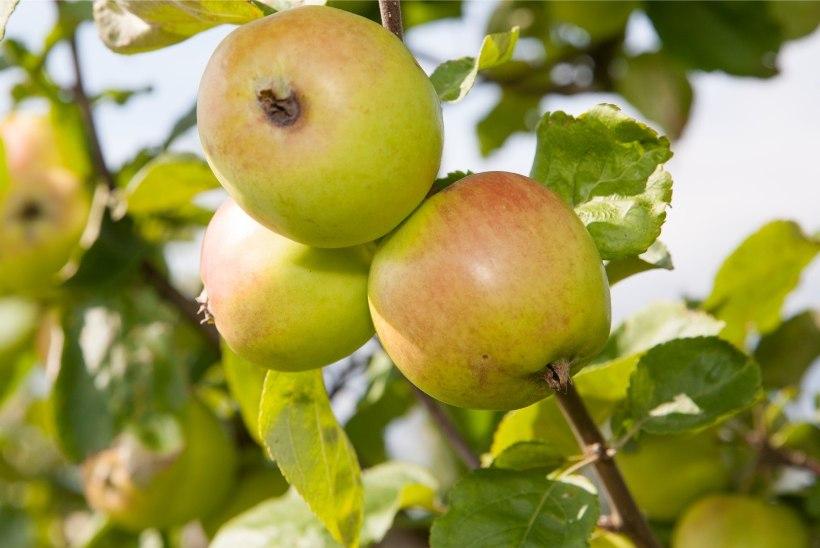 USKUMATU VIDEO   Valgamaal kannavad õunapuud tänavu juba teist saaki