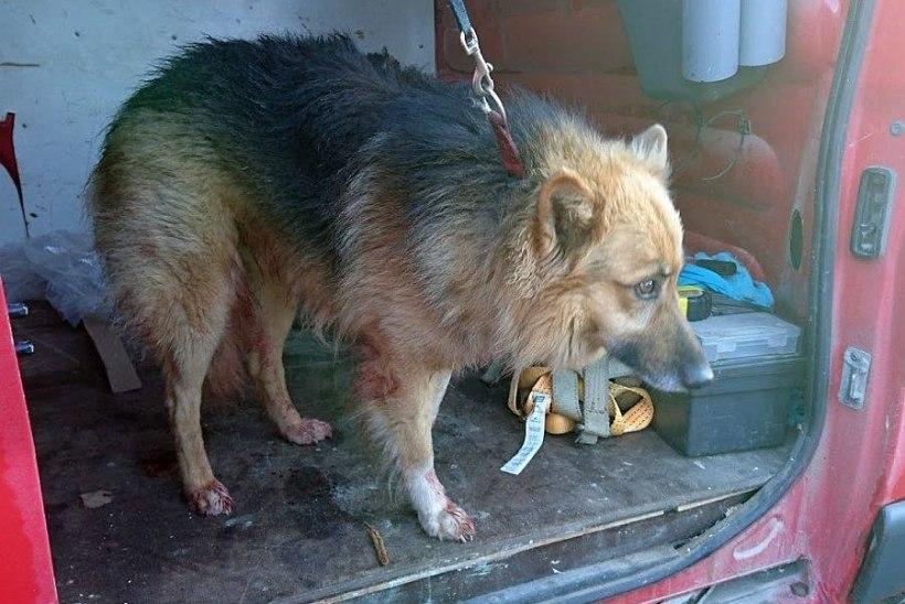 Jõhkralt tulistatud koera omanik on leitud, süüdlast aga otsitakse