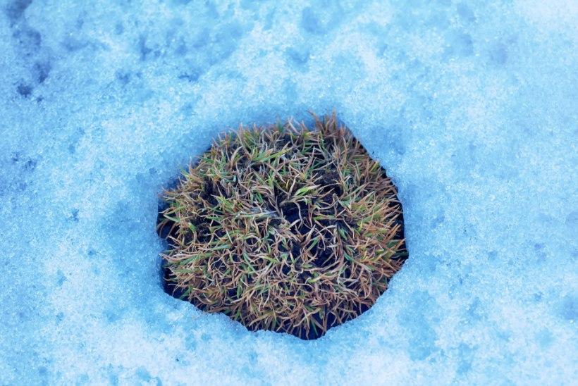 SOOMLASED MURES: lume vähesus ohustab arktilisi taimi