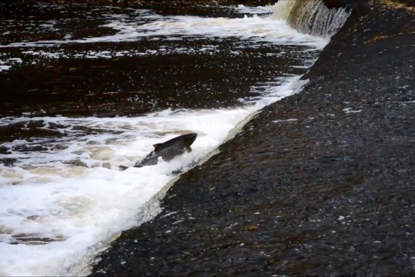 VIDEO: Hüppavad kalad paisudel