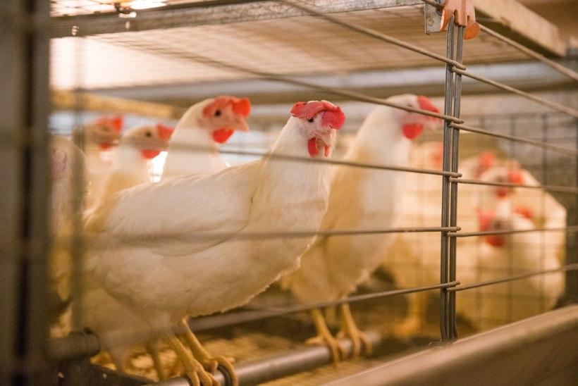 SALMONELLATRAGÖÖDIA: paarsada tuhat kana alustab oma viimset teekonda Poola!