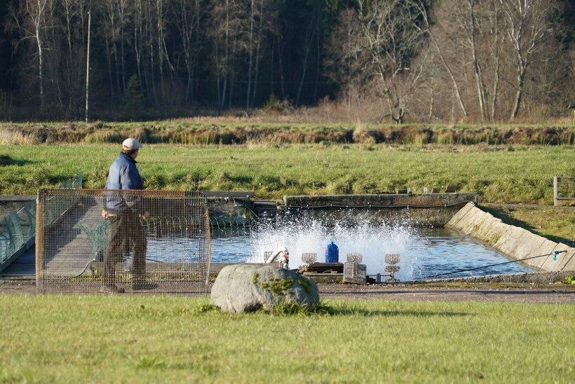 GALERII   Veterinaar- ja toiduamet avastas Järvamaa kalakasvatuses kalataudi