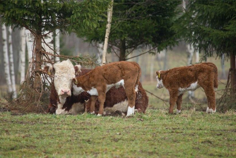 Lehmi vägistatakse: meeleheitel veganid muutuvad järjest agressiivsemaks