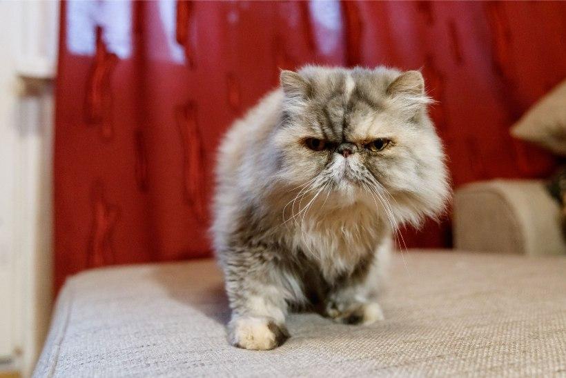 PEHME JA KARVANE | Nõid Alisa päästis kodutu kassi: mingid loomad elasid ta sees ja silm-kõrv mädanesid