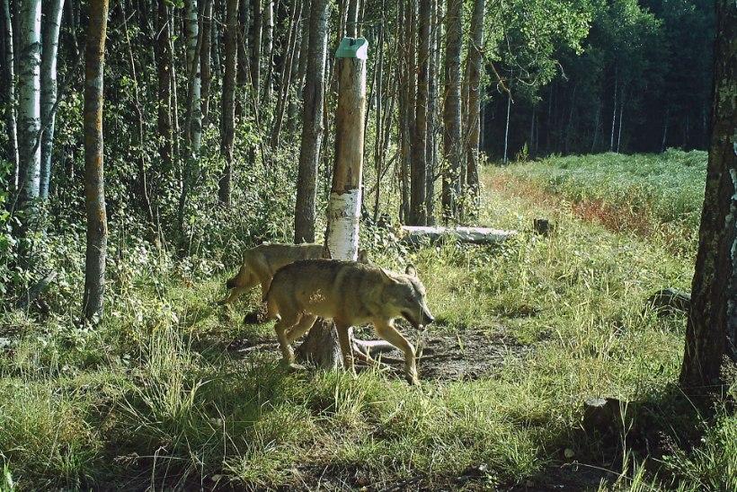 Hundid on Põlvamaal murdnud 40 lammast, kuid susi küttida veel ei saa
