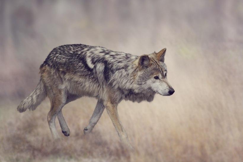 Keskkonnaamet plaanib Põlvamaal 40 lammast murdnud huntide küttimiseks väljastada kolm luba